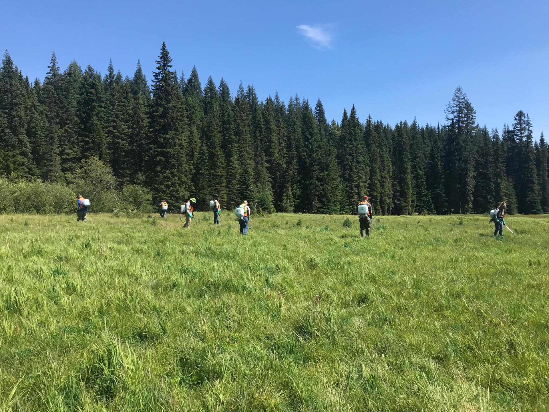 SCNWCP crew controlling thistles at Skookum Meadow as part of a grant from the Rocky Mountain Elk Foundation.