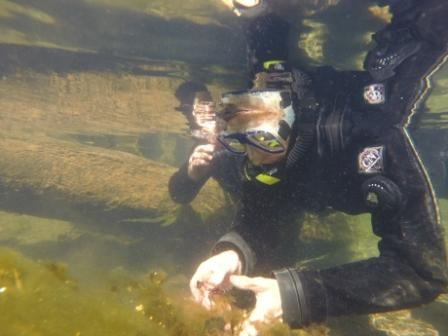 USFS Diver hand pulling Eurasian watermilfoil. Photo by Heather Ibsen, USFS