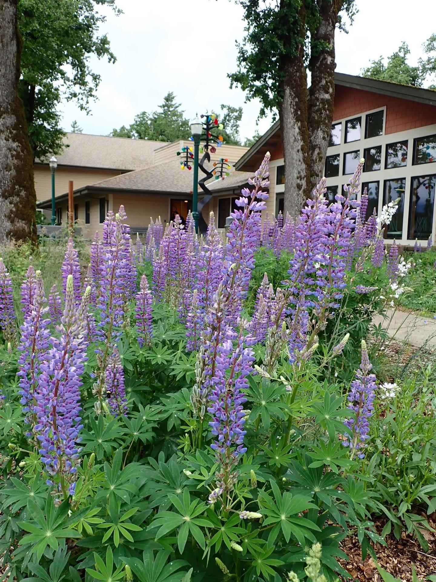 lupine blooming in front of Hegewald Center