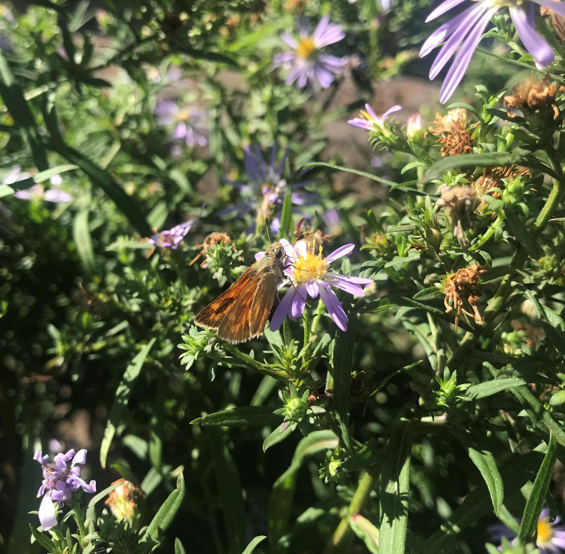 skipper on aster