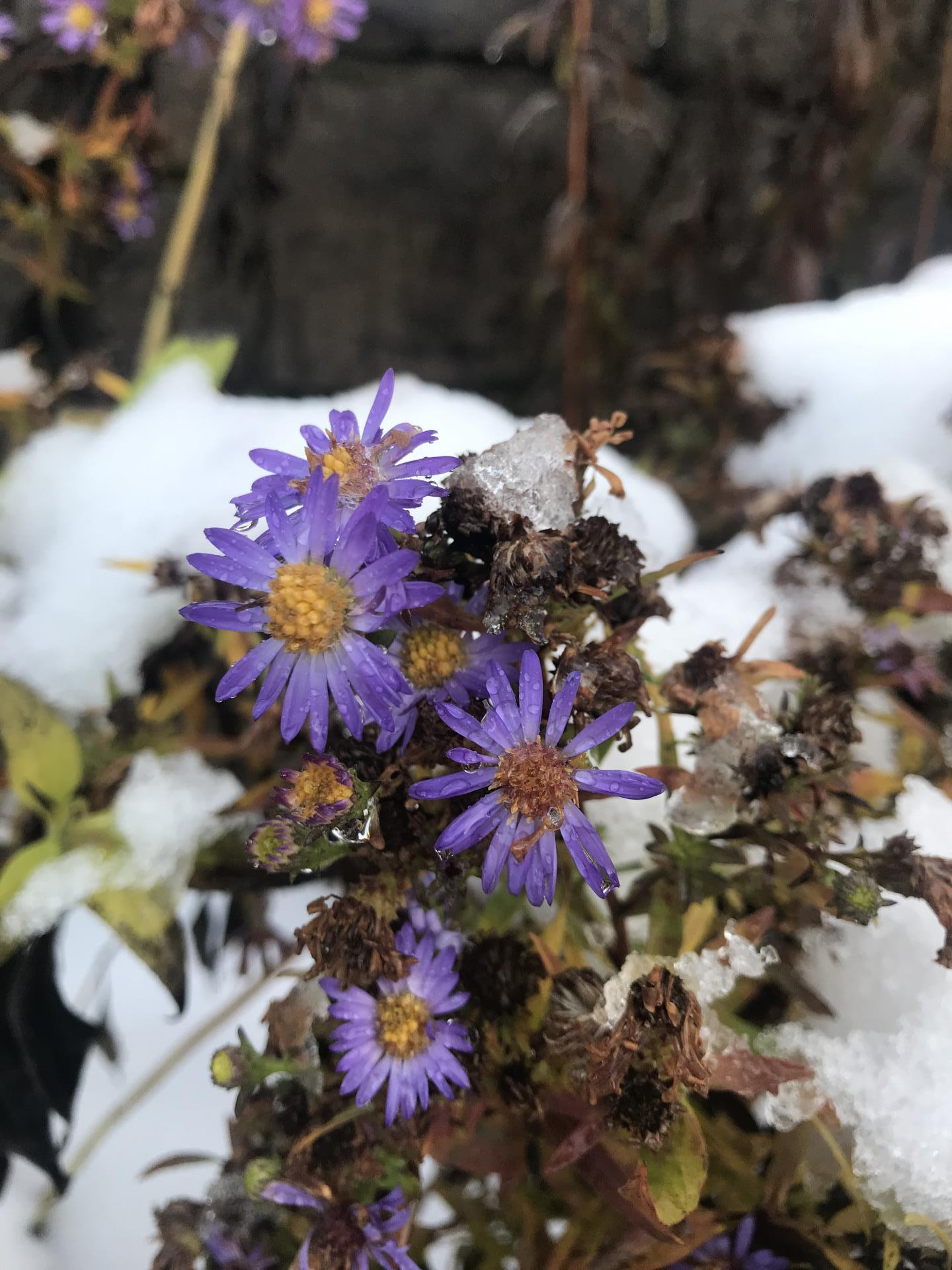 aster blooming in snow_Dec 2019